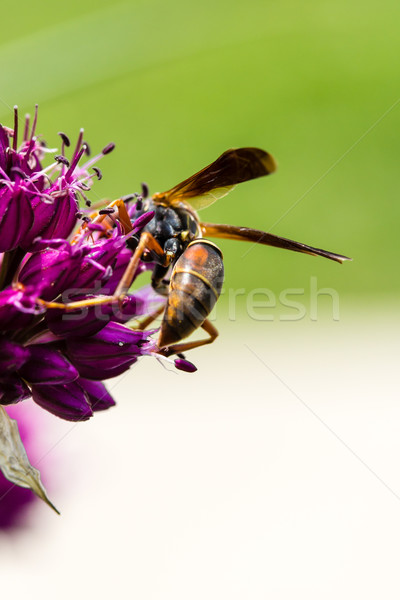 Flor florescer vespa perene abelha Foto stock © enterlinedesign