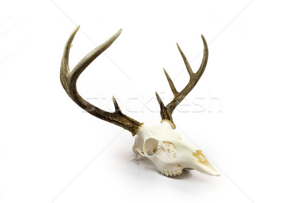 Whitetail Deer Buck Antlers and Skull Stock photo © enterlinedesign