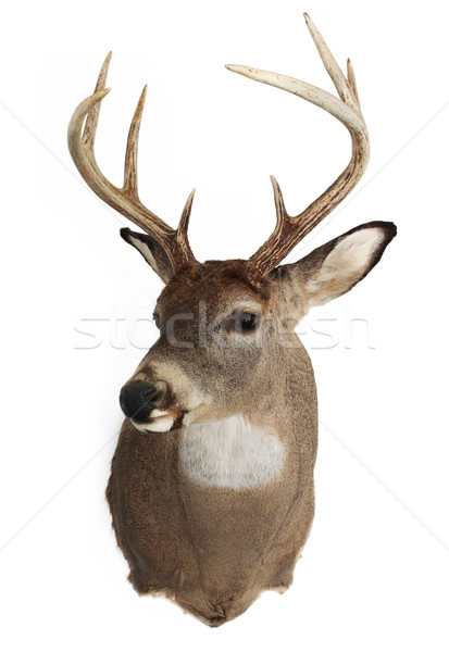 Trophy Buck Stock photo © enterlinedesign