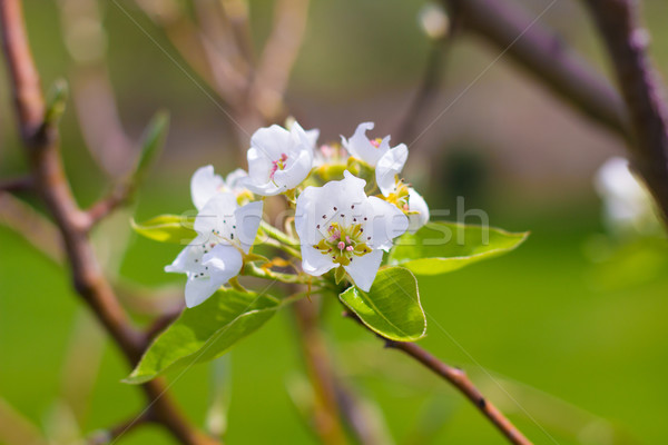Blooming Pear Tree Flowers Stock photo © enterlinedesign