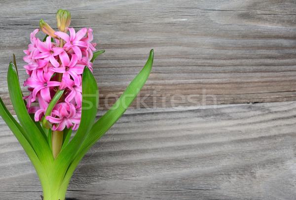 Pembe sümbül çiçek eski gri arka plan Stok fotoğraf © Epitavi