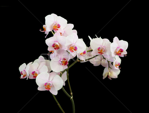 White orchid on black background Stock photo © Epitavi