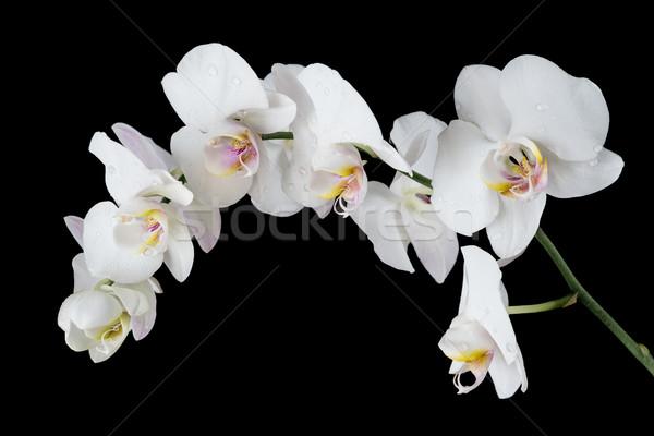Beyaz orkide siyah beyaz çiçek kapalı su damlası Stok fotoğraf © Epitavi