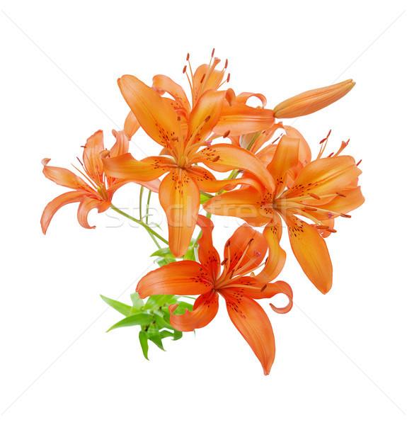 Orange lilies on white background Stock photo © Epitavi