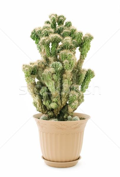 Kaktusz edény öreg virágcserép izolált fehér Stock fotó © Epitavi