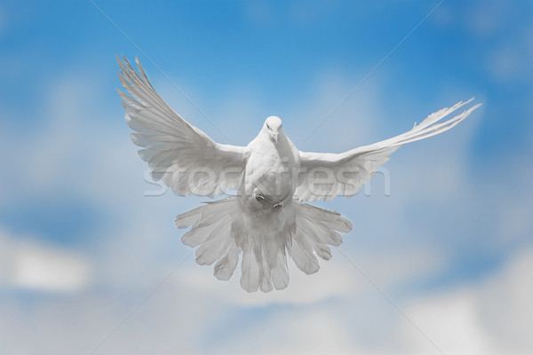 White dove is flying Stock photo © Epitavi