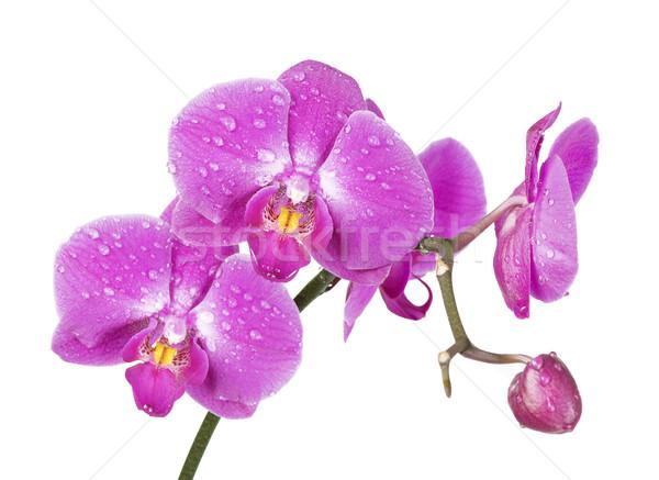 Orkide yalıtılmış beyaz çiçek kapalı çiy Stok fotoğraf © Epitavi