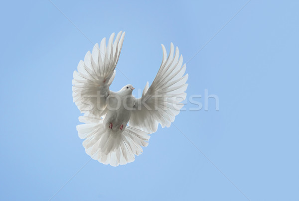 White dove flying Stock photo © Epitavi