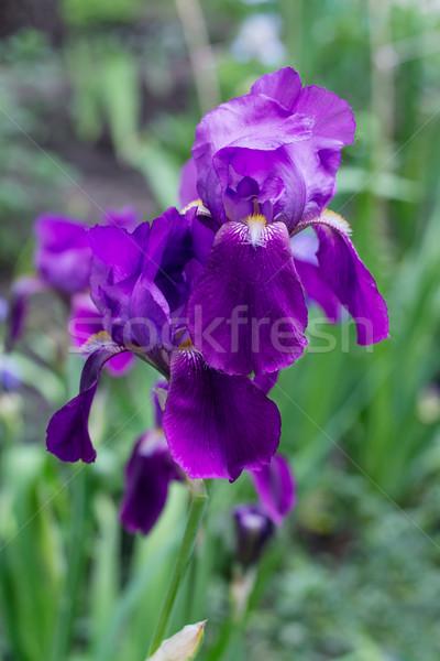 Сток-фото: синий · Iris · зеленый · фиолетовый · цветок · весны
