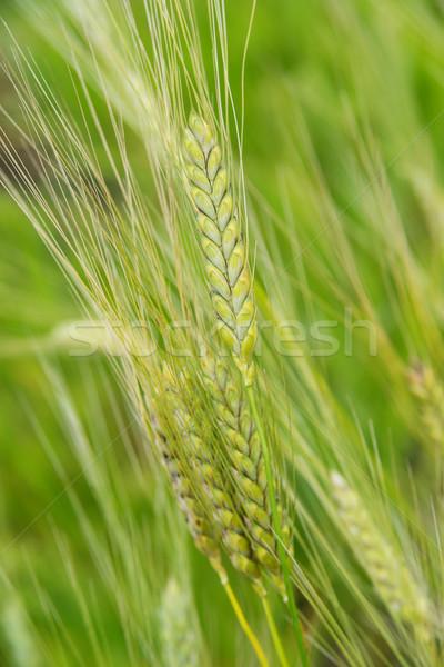 耳 ライ麦 クローズアップ 緑 フィールド 垂直 ストックフォト © Epitavi