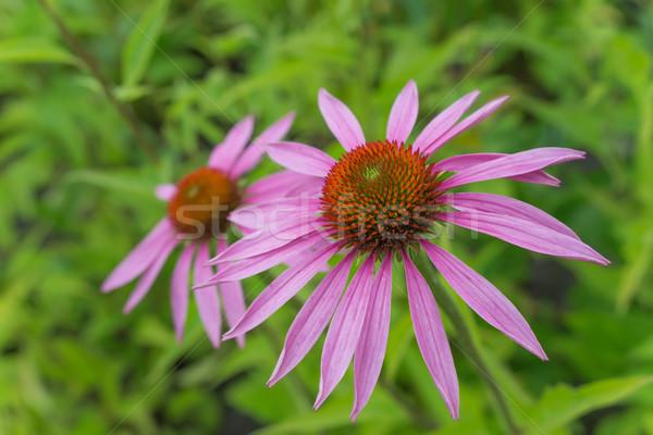 Two flowers of Echinacea Purpurea Stock photo © Epitavi