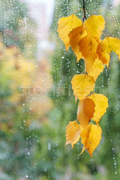 Birch branch with yellow leaves Stock photo © Epitavi