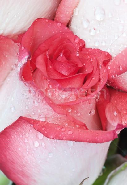 Güzel çiçek kapalı Stok fotoğraf © Epitavi