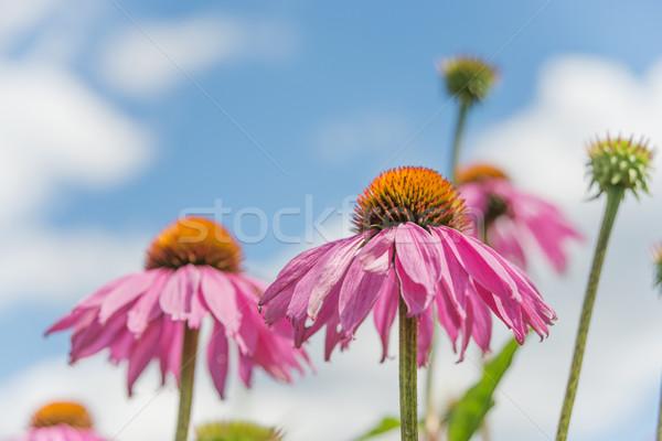 Echinacea purpurea against a blue sky Stock photo © Epitavi