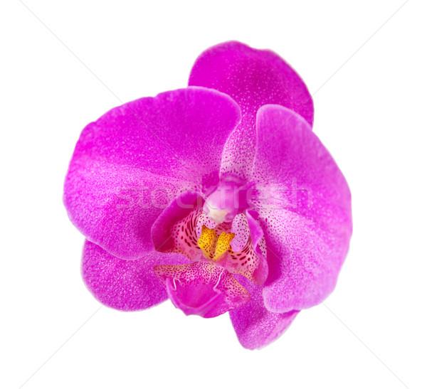 蘭 花 紫色の花 孤立した 白 春 ストックフォト © Epitavi