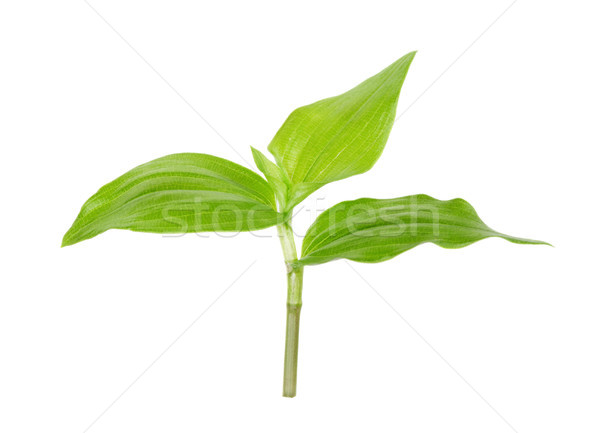 Green sprout on white background Stock photo © Epitavi