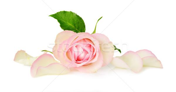 Сток-фото: Розовые · розы · белый · один · цветок · розовый · роз