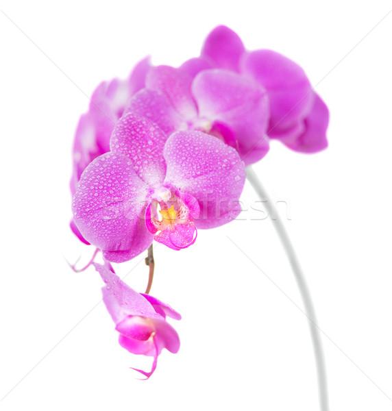 Orkide yalıtılmış beyaz mor çiçek kapalı Stok fotoğraf © Epitavi