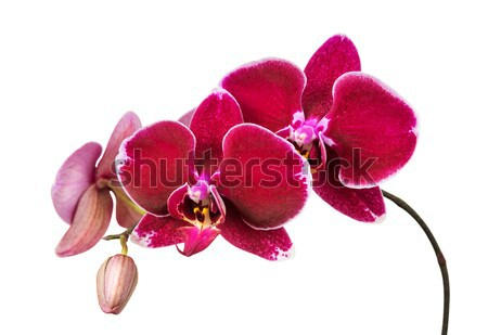Red orchid on white background Stock photo © Epitavi