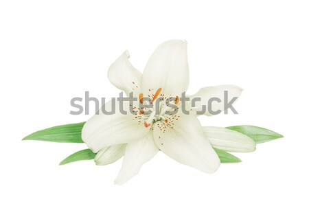 Stock photo: White lily on a white background