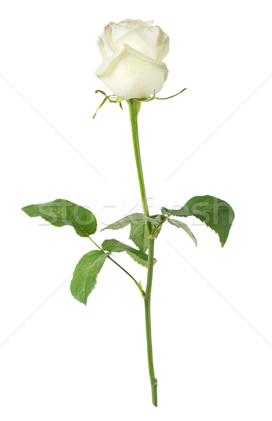 White rose on a white background Stock photo © Epitavi