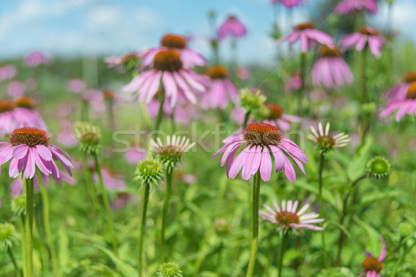 Groot plantage planten honing plant Stockfoto © Epitavi