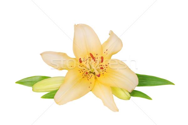 黄色 ユリ 白 1 花 ストックフォト © Epitavi