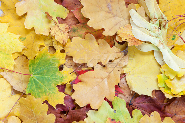 Background with multicolored leaves Stock photo © Epitavi