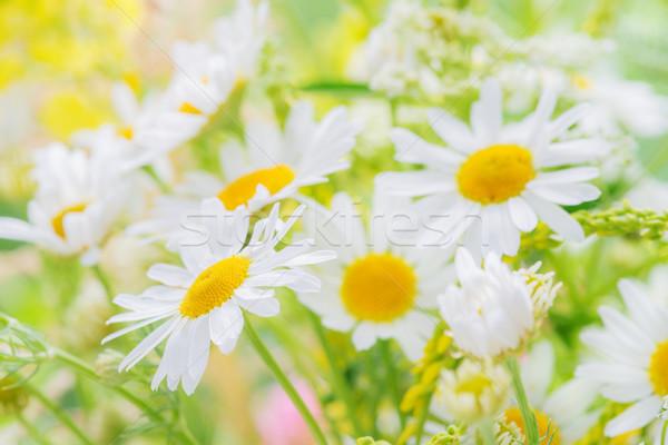 Полевые цветы лет луговой ромашка другой Сток-фото © Epitavi