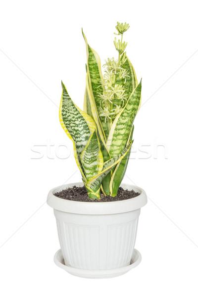 Blooming Sansevieria on a white background Stock photo © Epitavi
