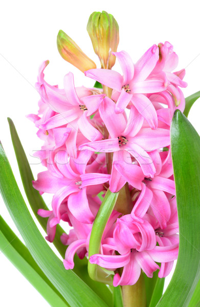 Pink hyacinth closeup Stock photo © Epitavi