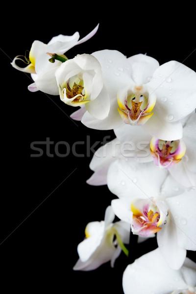 白 蘭 黒白 花 カバー 水滴 ストックフォト © Epitavi
