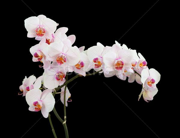 White orchid on black background Stock photo © Epitavi