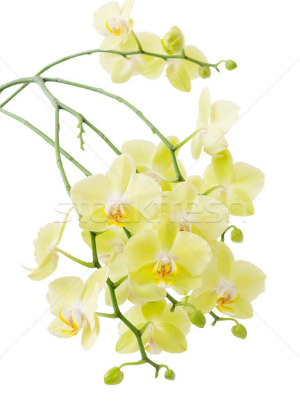 黄色 開花 蘭 多くの 花 孤立した ストックフォト © Epitavi