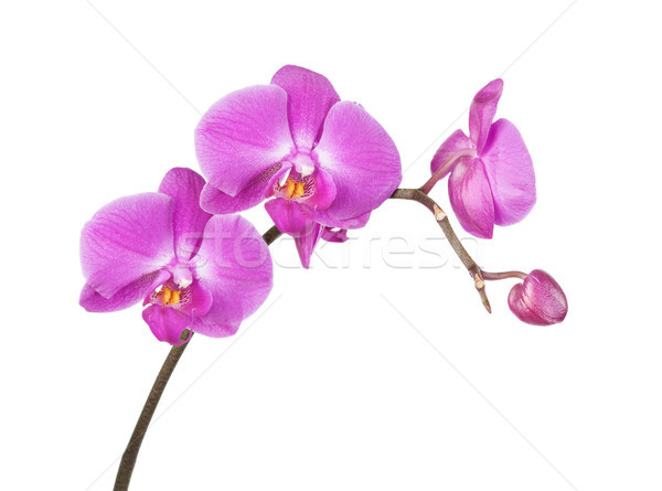 Pink orchid on a white background Stock photo © Epitavi