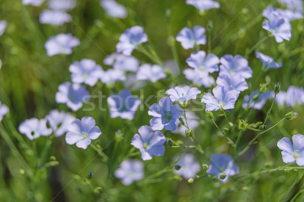 Blue flax flower closeup Stock photo © Epitavi