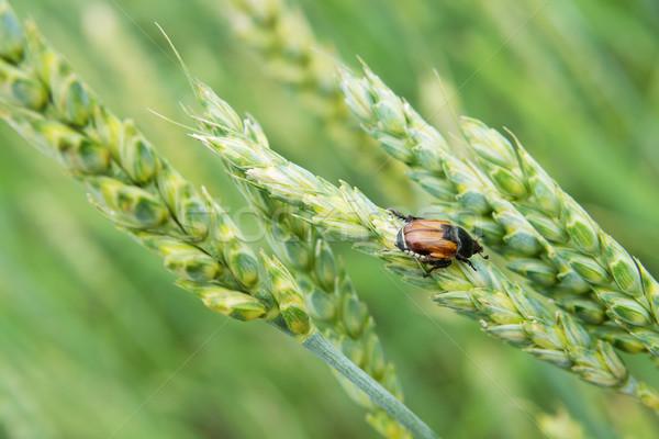 Böcek tarım tahıl böcek Stok fotoğraf © Epitavi
