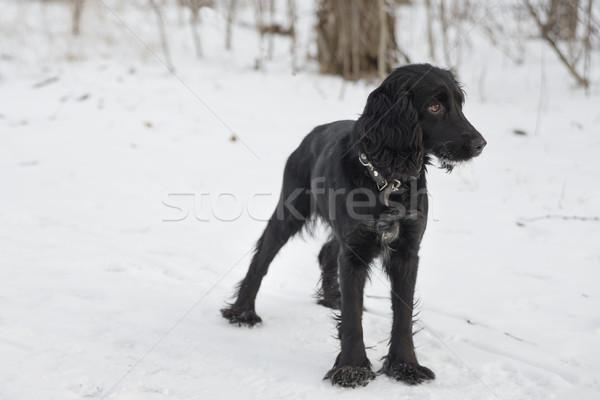 黒 犬 冬 立って 雪 屋外 ストックフォト © Epitavi