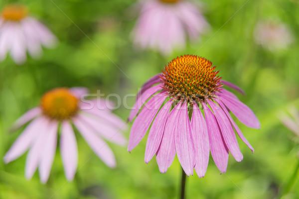 Echinacea purpurea outdoors Stock photo © Epitavi
