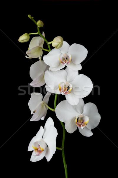 白 蘭 黒白 花 孤立した 黒 ストックフォト © Epitavi