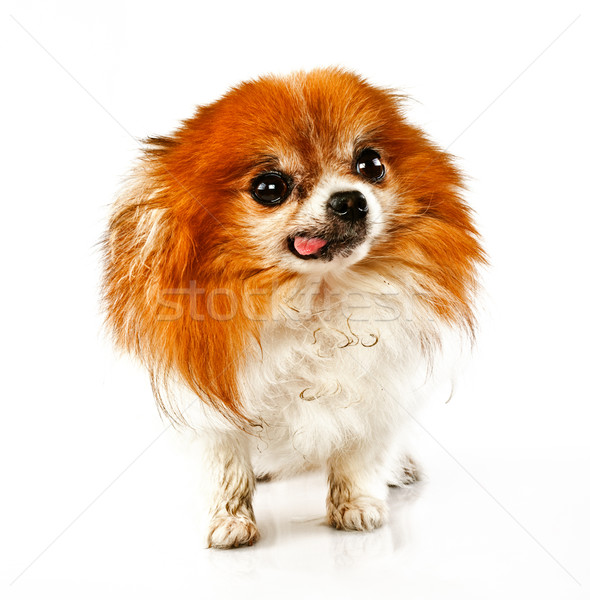 Funny looking dog with tounge out Stock photo © epstock