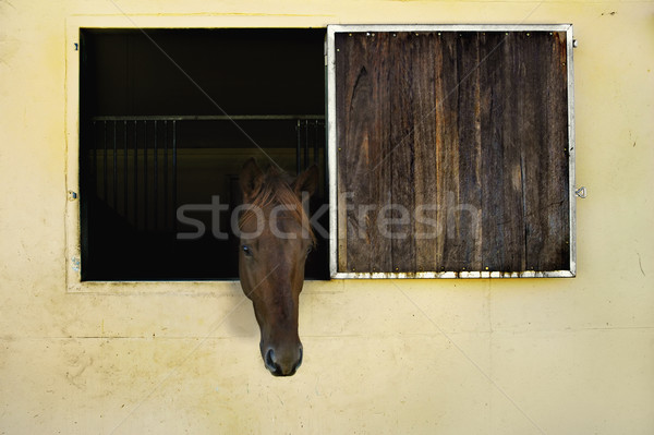 Horse with head out of window in stable Stock photo © epstock