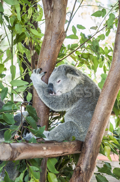 Sleepy koala resting in a tree Stock photo © epstock