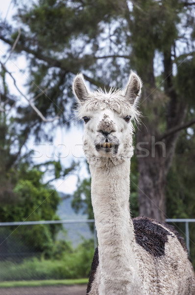 Portrait of an alpaca Stock photo © epstock
