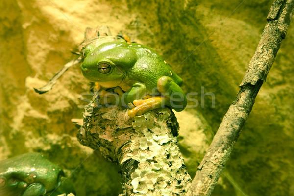 Green tree frog sitting on branch Stock photo © epstock