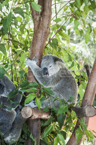 Koala sleeping in a tree Stock photo © epstock