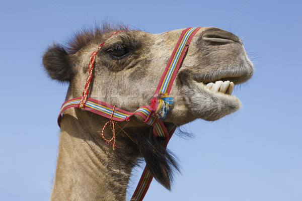 Portrait of a traditional transport camel Stock photo © epstock