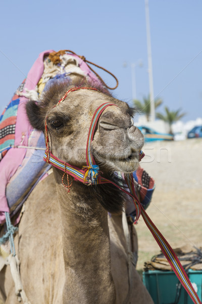 Transport camel with bridle Stock photo © epstock