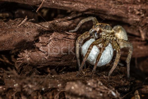 Női farkas pók tojás Stock fotó © erbephoto
