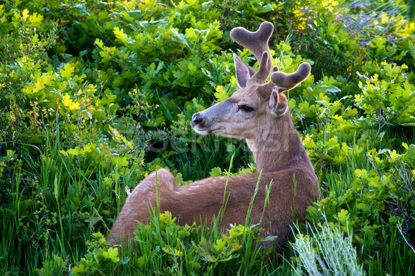 Mule deer in velvet Stock photo © erbephoto